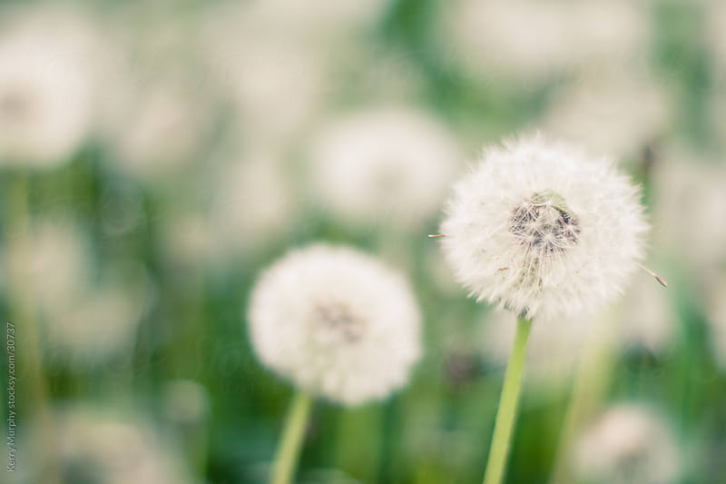 Closeup of dandelion puffs in a field by Kerry Murphy for Stocksy United