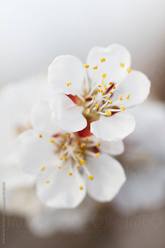 Apricot tree blossom by Dobránska Renáta for Stocksy United