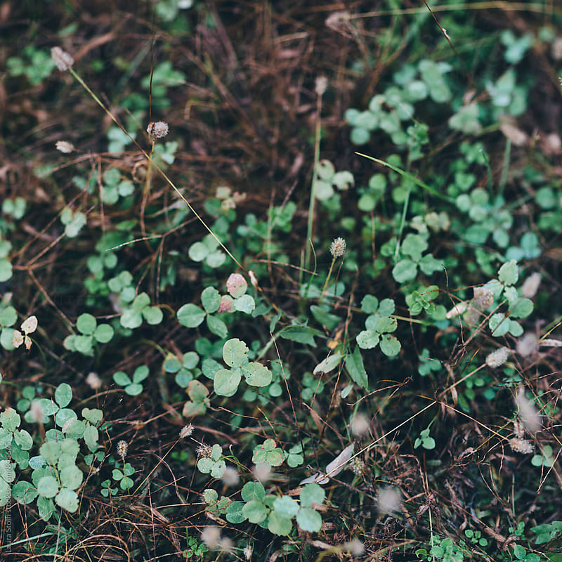 Overhead shot of clovers growing amongst withered twigs by Laura Stolfi for Stocksy United