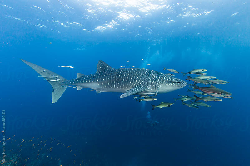 Whale shark by Song Heming for Stocksy United