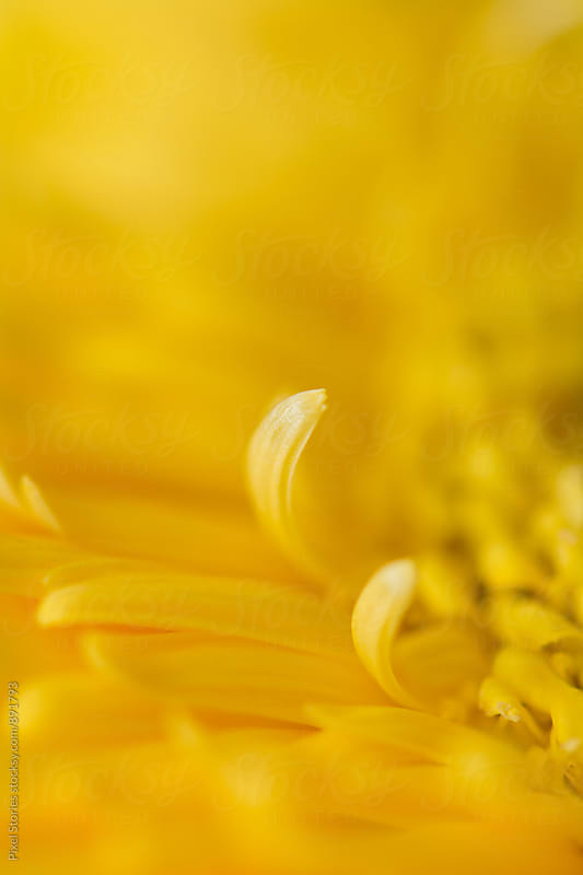 Yellow Gerbera macro details by Pixel Stories for Stocksy United
