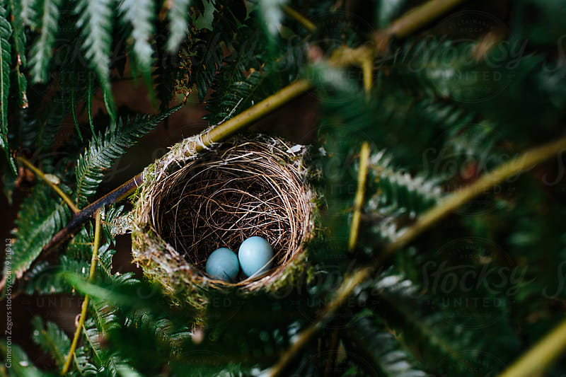 bird's nest with eggs by Cameron Zegers for Stocksy United