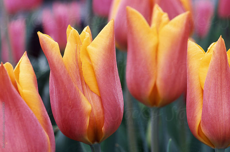 closeup group of tulips (Tulipa sp.) flowers blooms blossoms at experimental farm  by Ron Mellott for Stocksy United