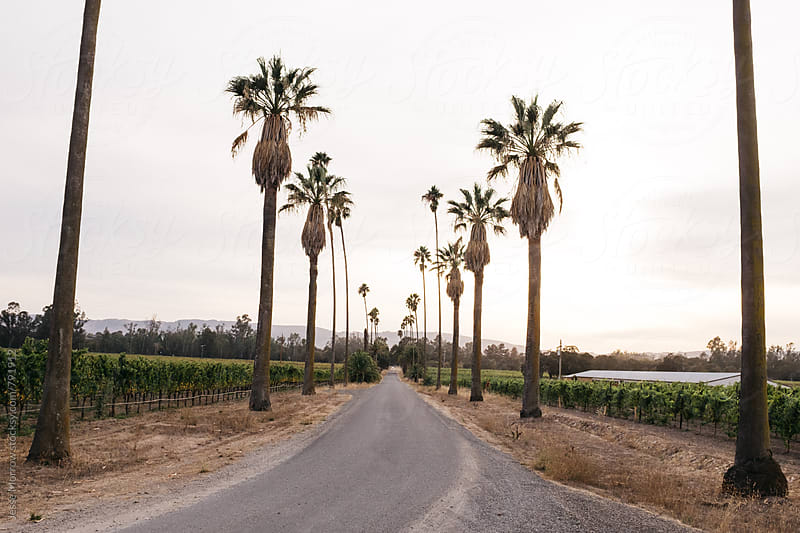 california drive way lined with palm trees by Jesse Morrow for Stocksy United