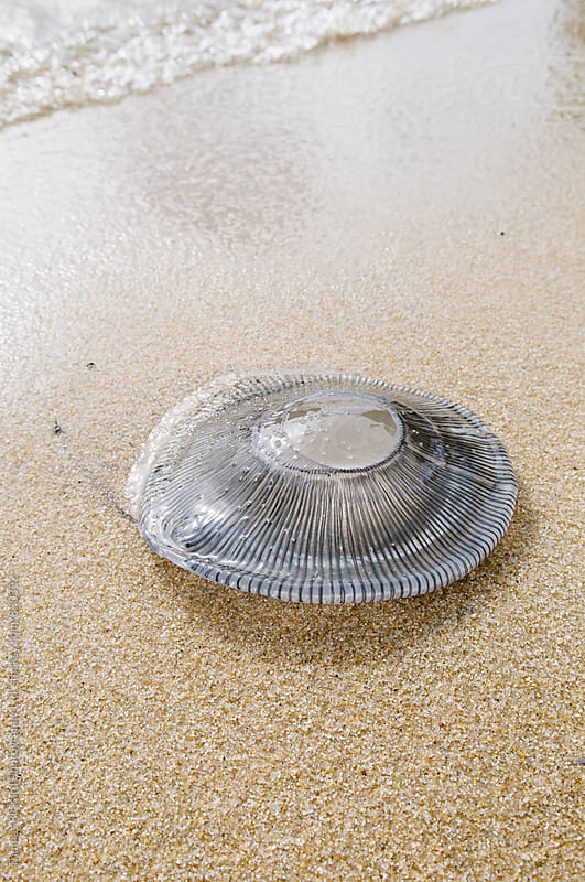 Jelly fish washed up on a beach, Abel Tasman National Park, New Zealand. by Thomas Pickard for Stocksy United