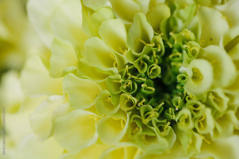 A closeup shot of the center of a yellow green marigold by Sarah Lalone for Stocksy United