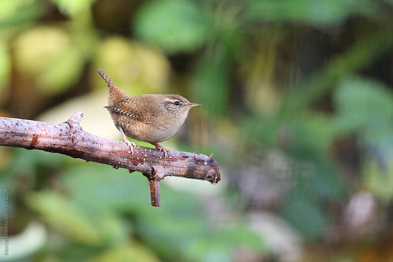 Tiny wren bird on a branch by Marcel for Stocksy United