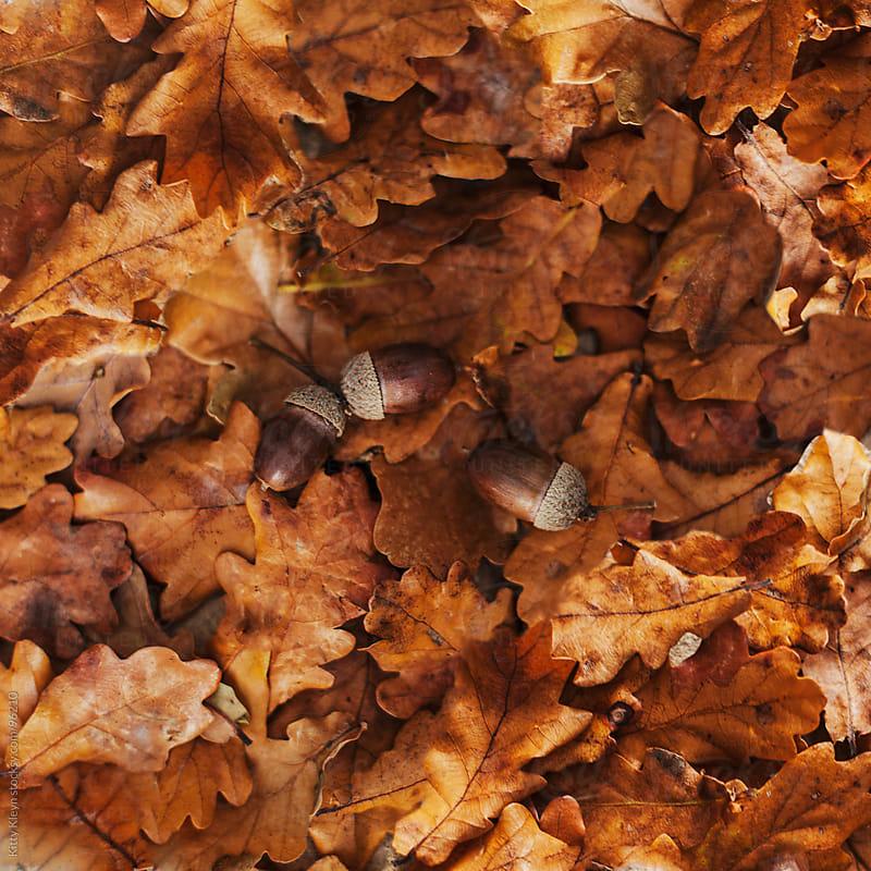 Acorns lying in autumnal oak leaves by Kitty Kleyn for Stocksy United