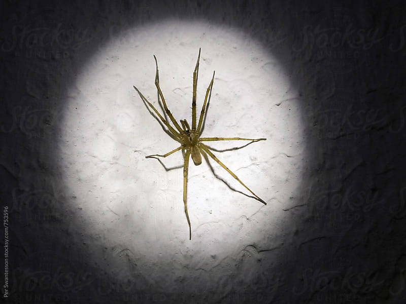 House spider on a wall lit by a flashlight by Per Swantesson for Stocksy United