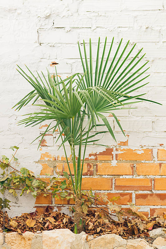 young palm trees next to a brick wall by Javier Pardina for Stocksy United