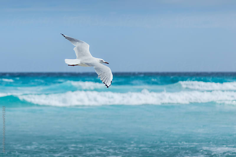 Seagull. Australia. by John White for Stocksy United