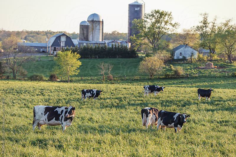 Holstein Cattle Grazing In A Grassy Field In Virginia by Cameron Whitman for Stocksy United