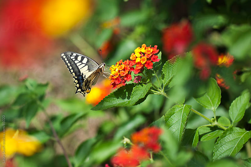 Black and white stripes butterfly on orange Lantana flowers by Laura Stolfi for Stocksy United