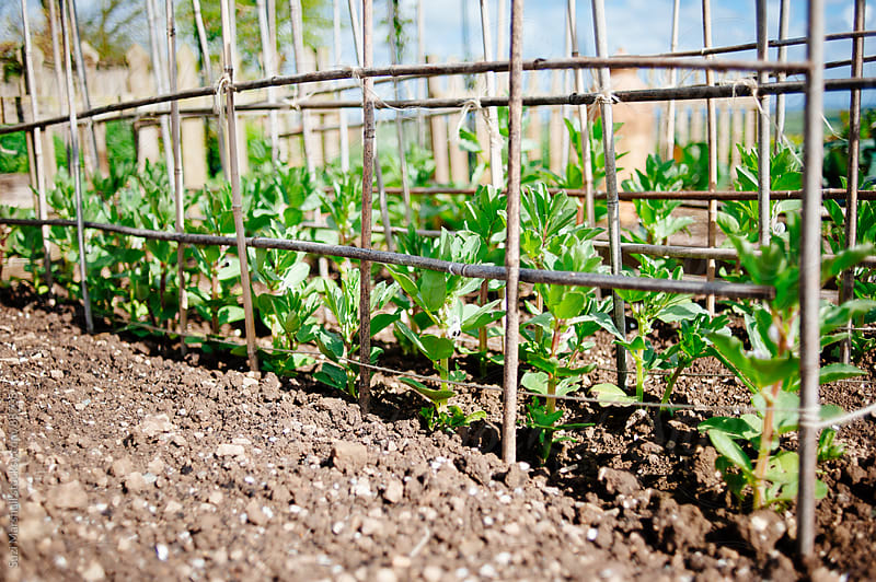 Broad bean plants growing in a garden by Suzi Marshall for Stocksy United