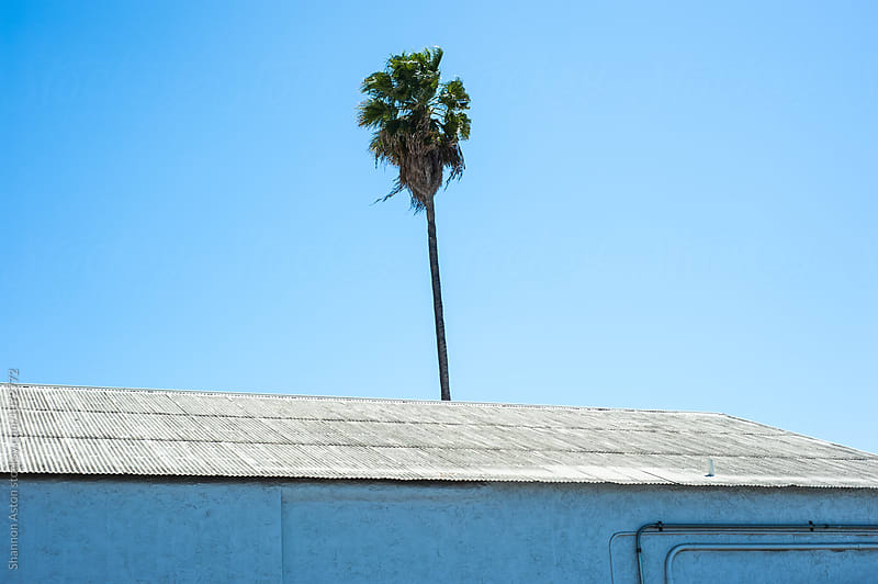 Urban palm tree, CA by Shannon Aston for Stocksy United