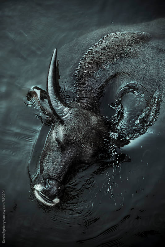 Water buffalo cooling off in a river  by Soren Egeberg for Stocksy United