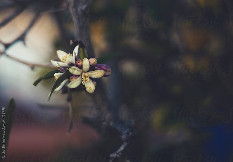 Orange blossoms on a branch against a dark background by Rachel Bellinsky for Stocksy United