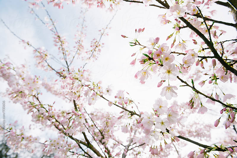 Beautiful Spring Cherry Blossoms by Ronnie Comeau for Stocksy United