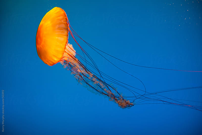 Jellyfish swimming in aquarium by Kerry Murphy for Stocksy United