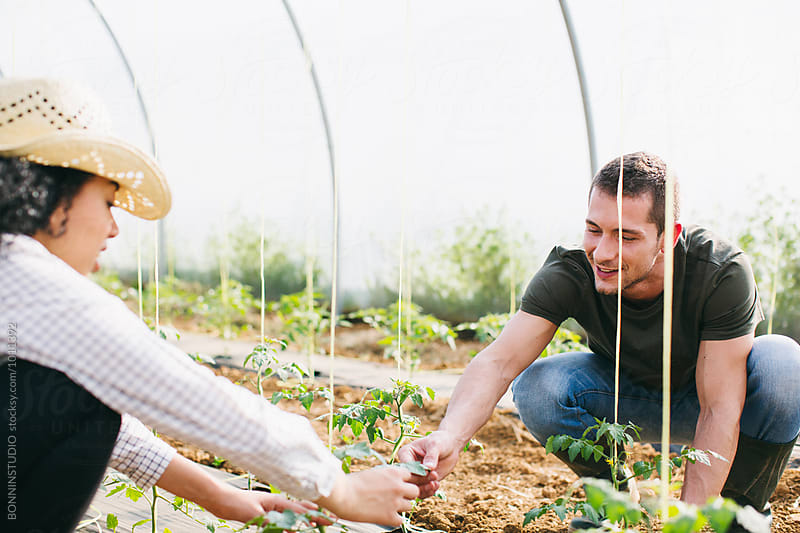 Couple gardening organic vegetables in a big greenhouse. by BONNINSTUDIO for Stocksy United