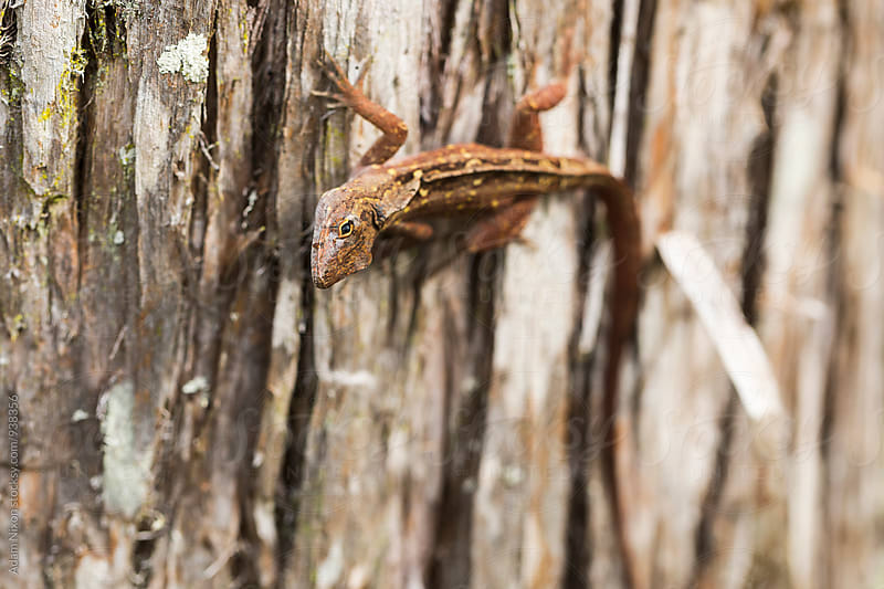 Close-up of a brown lizard on a tree by Adam Nixon for Stocksy United