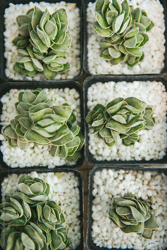 Close up of succulent plants by MaaHoo Studio for Stocksy United