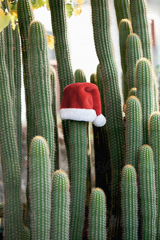 Cactus wearing a Santa hat by Amy Covington for Stocksy United