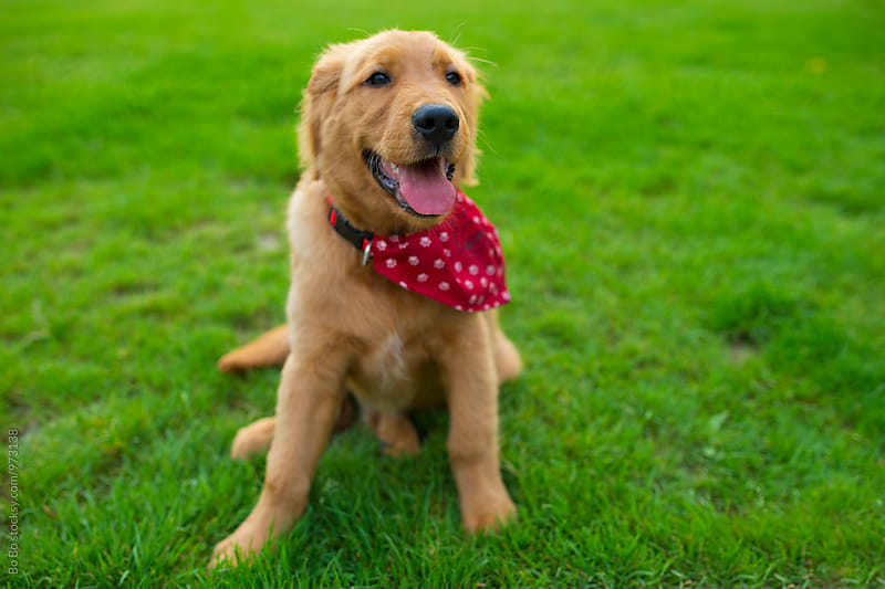 young golden retriever sitting on the lawn by Bo Bo for Stocksy United