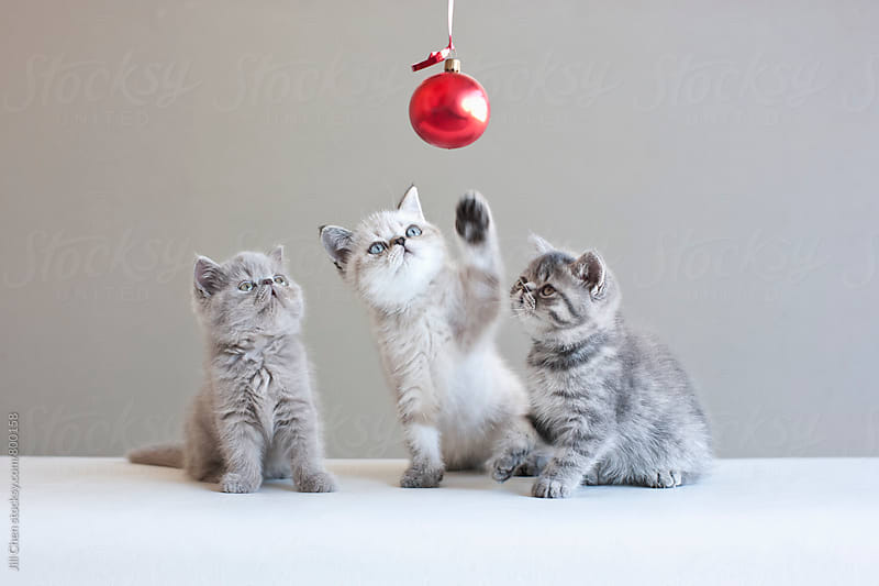 Three Kittens Playing with a Red Christmas Ball by Jill Chen for Stocksy United