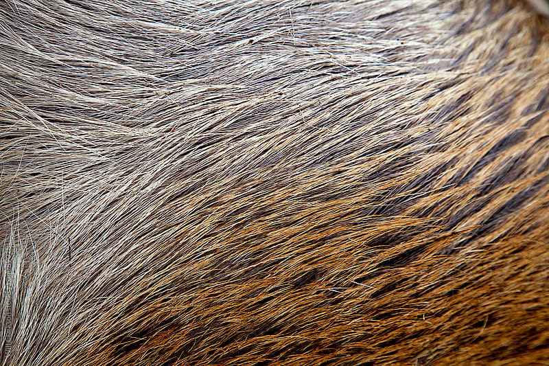 Detail of a red deer stag's flank by Will Clarkson for Stocksy United