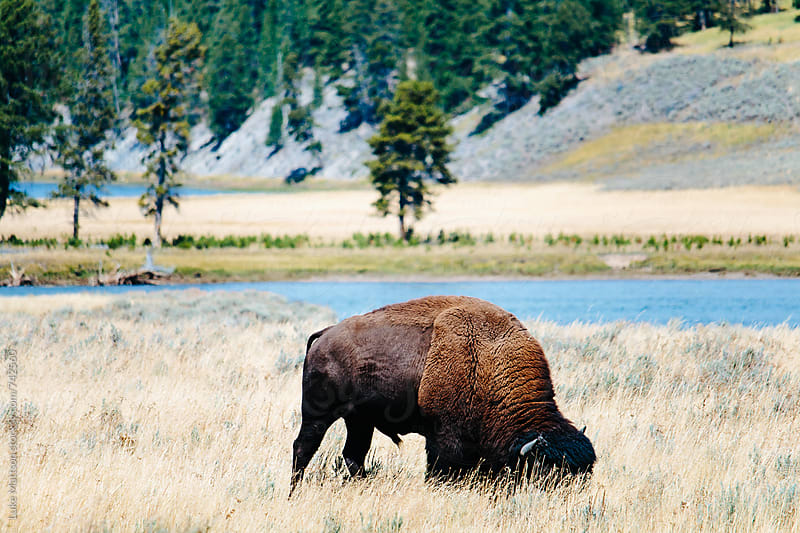American Bison Grazing In A Grassy Plain Near The River by Luke Mattson for Stocksy United