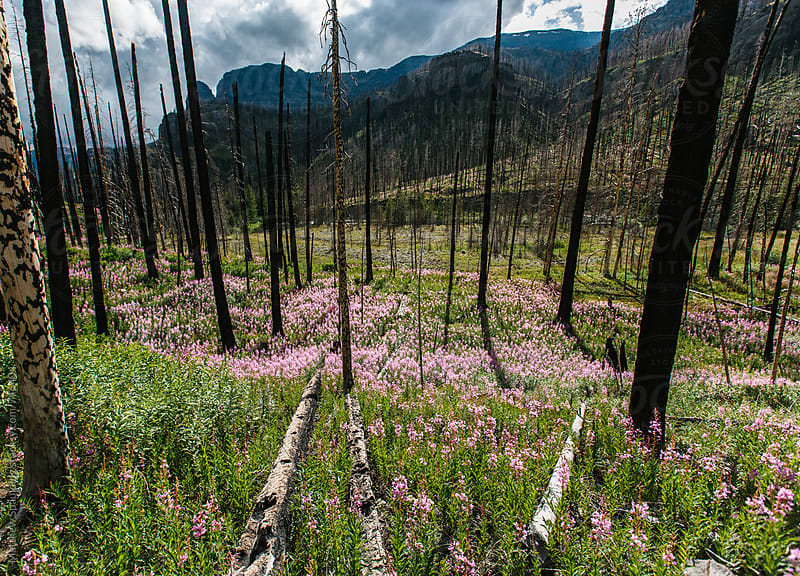 Fire weed and flowers growing among dead trees in old wildfire area by Matthew Spaulding for Stocksy United