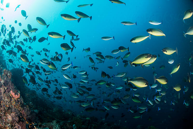 school of surgeonfish with reef by Song Heming for Stocksy United