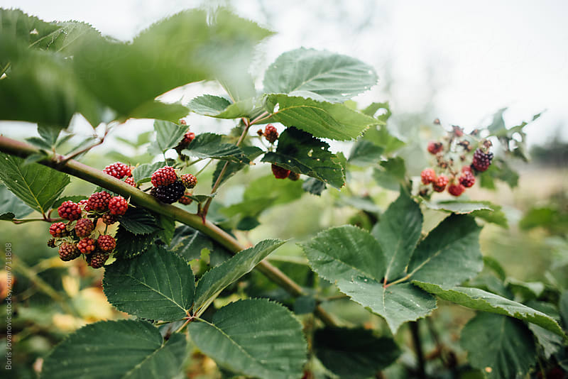 Close up of  raspberries on the branch by Boris Jovanovic for Stocksy United