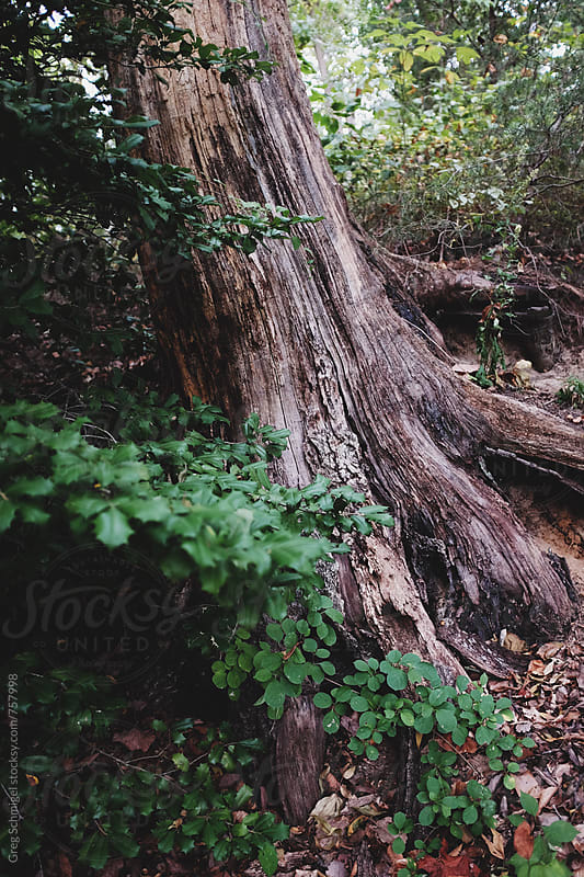 An old leaning tree trunk in the forest during the Autumn season with ivy and branches by Greg Schmigel for Stocksy United