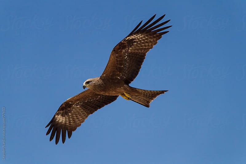 soaring eagle by Leander Nardin for Stocksy United
