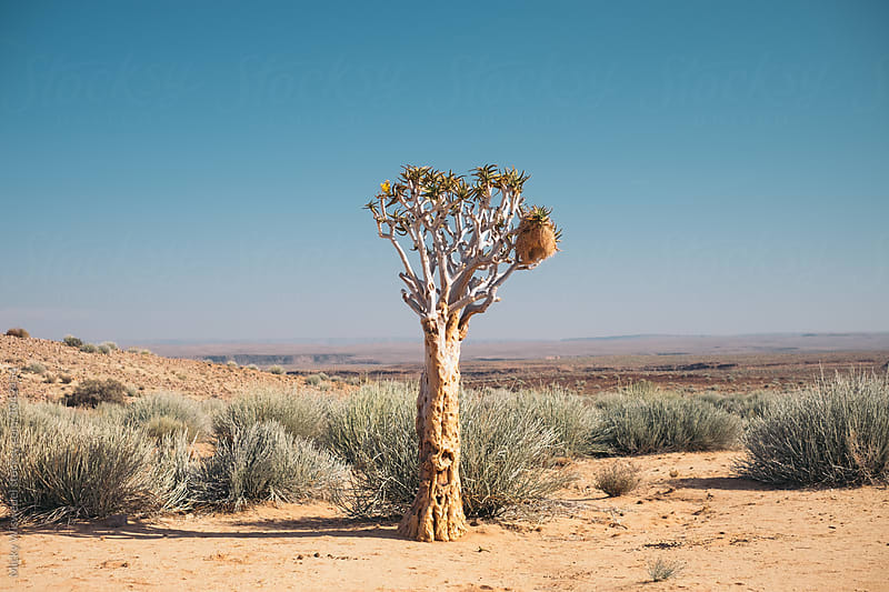 lone Quiver Tree in a desert landscape by Micky Wiswedel for Stocksy United