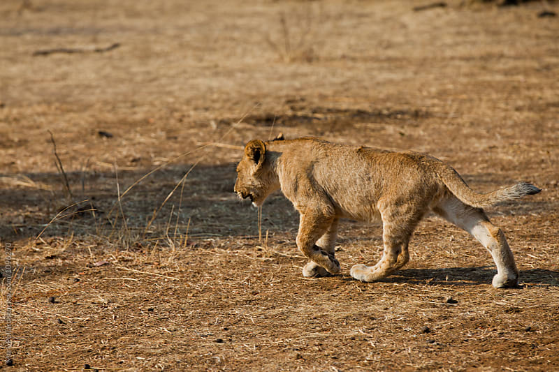 Young Lion Stalking off into the Savanna by Mark Pollard for Stocksy United