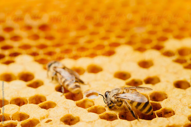 honey bee work on honeycomb by Pansfun Images for Stocksy United