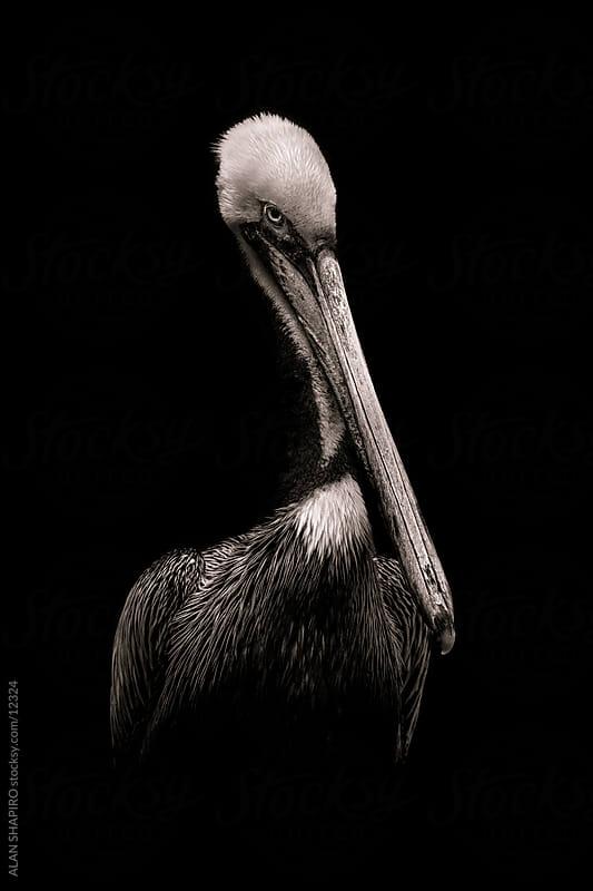 Pelican in monochrome by alan shapiro for Stocksy United