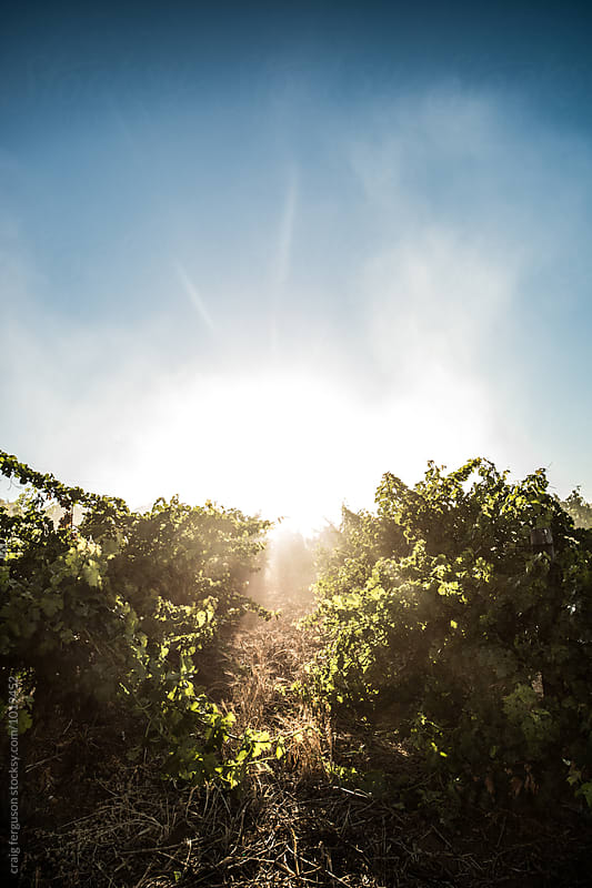 Vineyard Sun by craig ferguson for Stocksy United