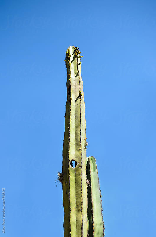 Tall cactus with a hole against blue sky by Alice Nerr for Stocksy United