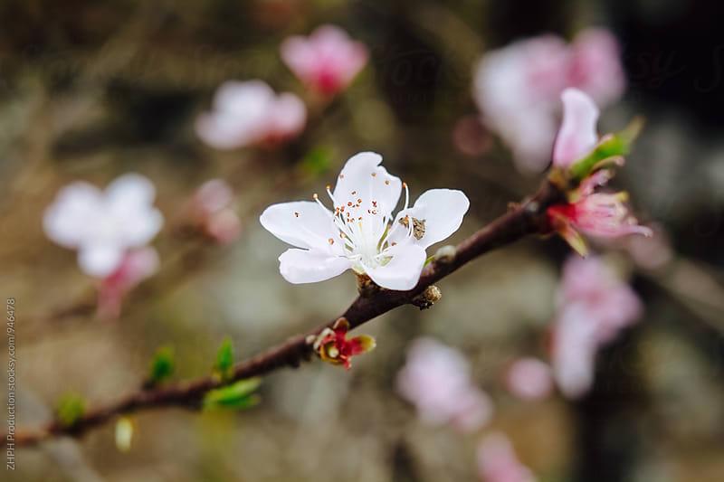 Cherry blossom by Artem Zhushman for Stocksy United