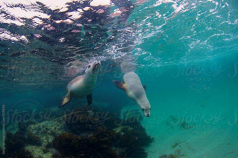 Australian sea lion  by Song Heming for Stocksy United