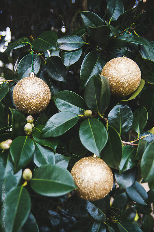 Gold sparkly ornament hanging from dark green Camellia Bush by Kate Daigneault for Stocksy United