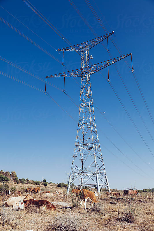 Rural Pylon and Cows by Eldad Carin for Stocksy United