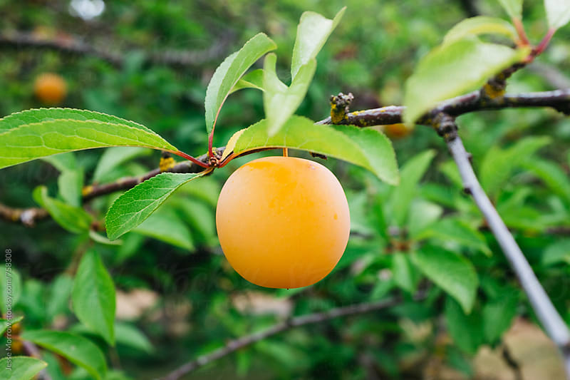 a ripe orange plum hanging from green tree by Jesse Morrow for Stocksy United