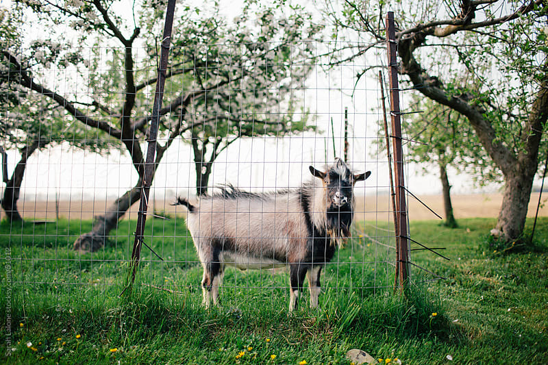 Billy goat in a fruit tree field. by Sarah Lalone for Stocksy United
