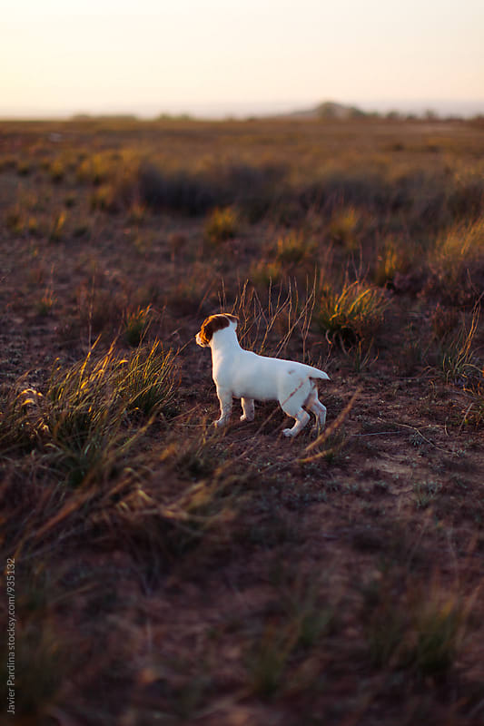 little Jack Russell looking to the sunset by Javier Pardina for Stocksy United