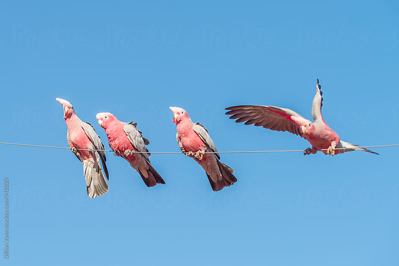 Australian galah by Gillian Vann for Stocksy United